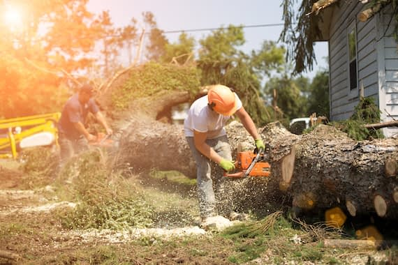 Two workers use chainsaws to cut up a fallen tree